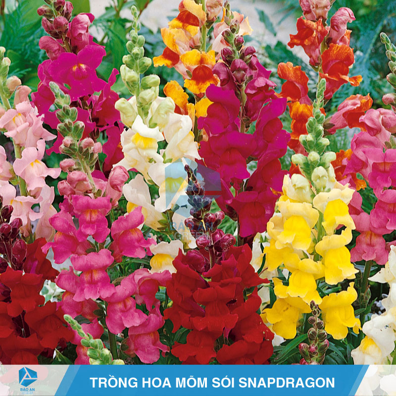 Kỹ thuật trồng hoa Mõm Sói Snapdragon với đá Perlite