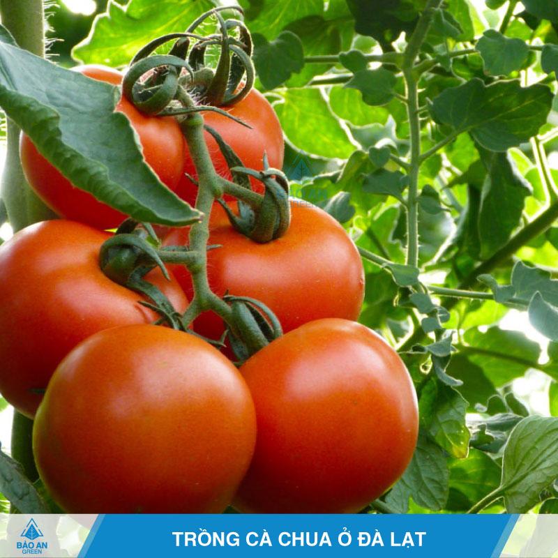 Trồng cà chua ở Đà Lạt năng suất cao
