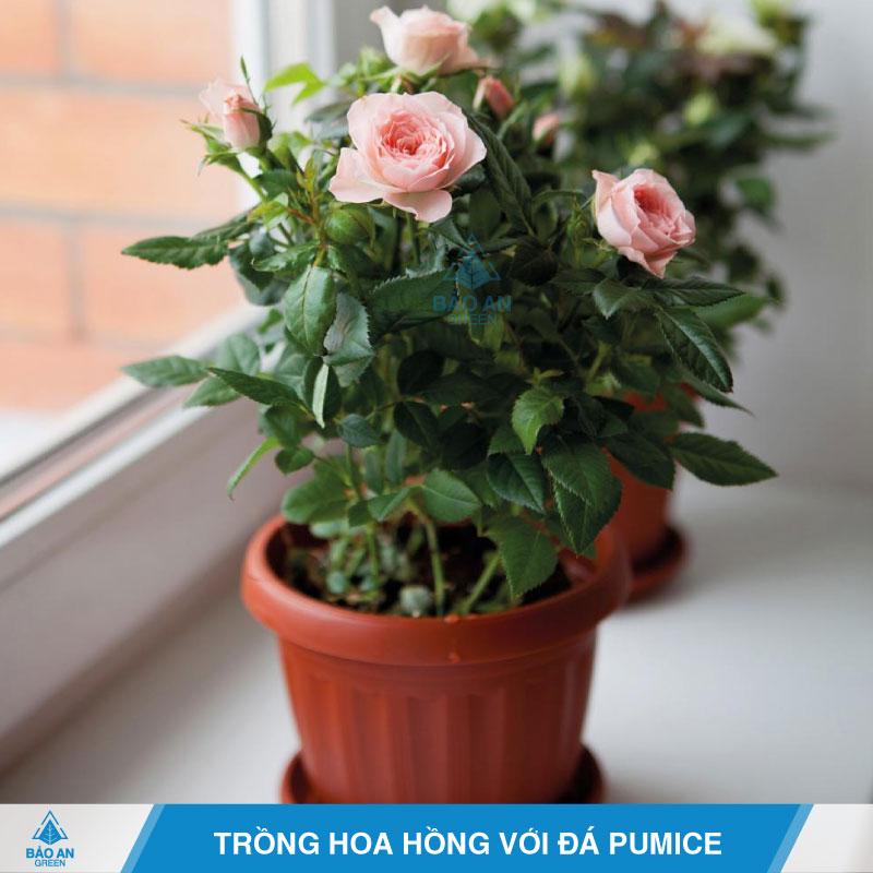 Trồng hoa hồng với đá bọt Pumice
