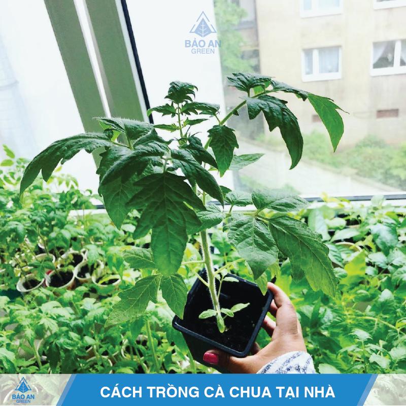 Cách trồng cà chua đơn giản, hiệu quả nhất