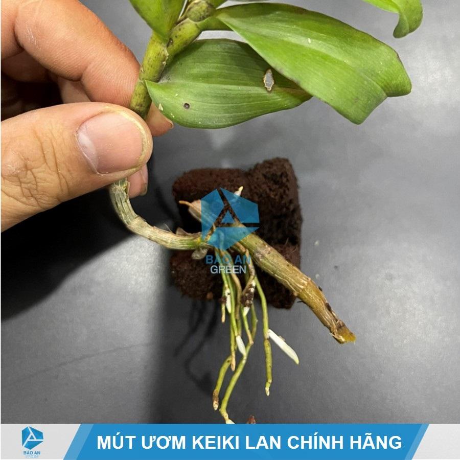 Cách nhận biết hàng Mút hữu cơ Hà Lan chính hãng, chuẩn ươm Keiki Lan