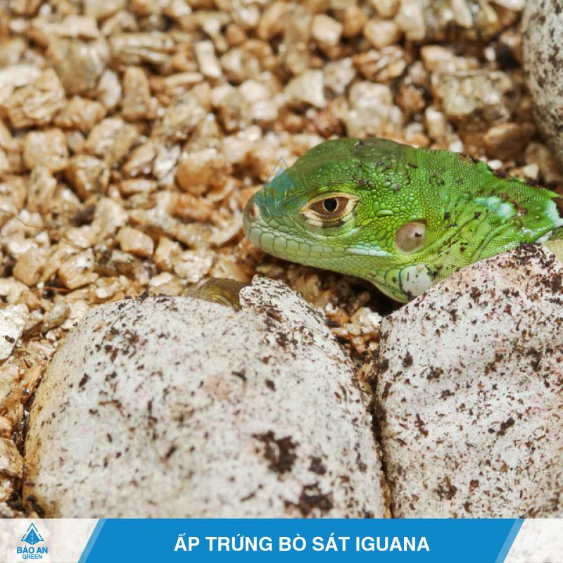 Ứng dụng của Đá Vermiculite trong ấp trứng bò sát Iguana