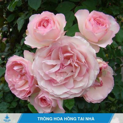 Cách trồng hoa hồng hiệu quả