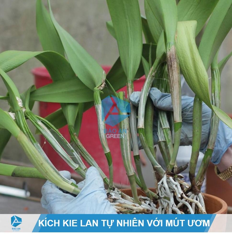 Kỹ thuật kích, ươm Kie Lan tự nhiên bằng Mút Hữu cơ Hà Lan